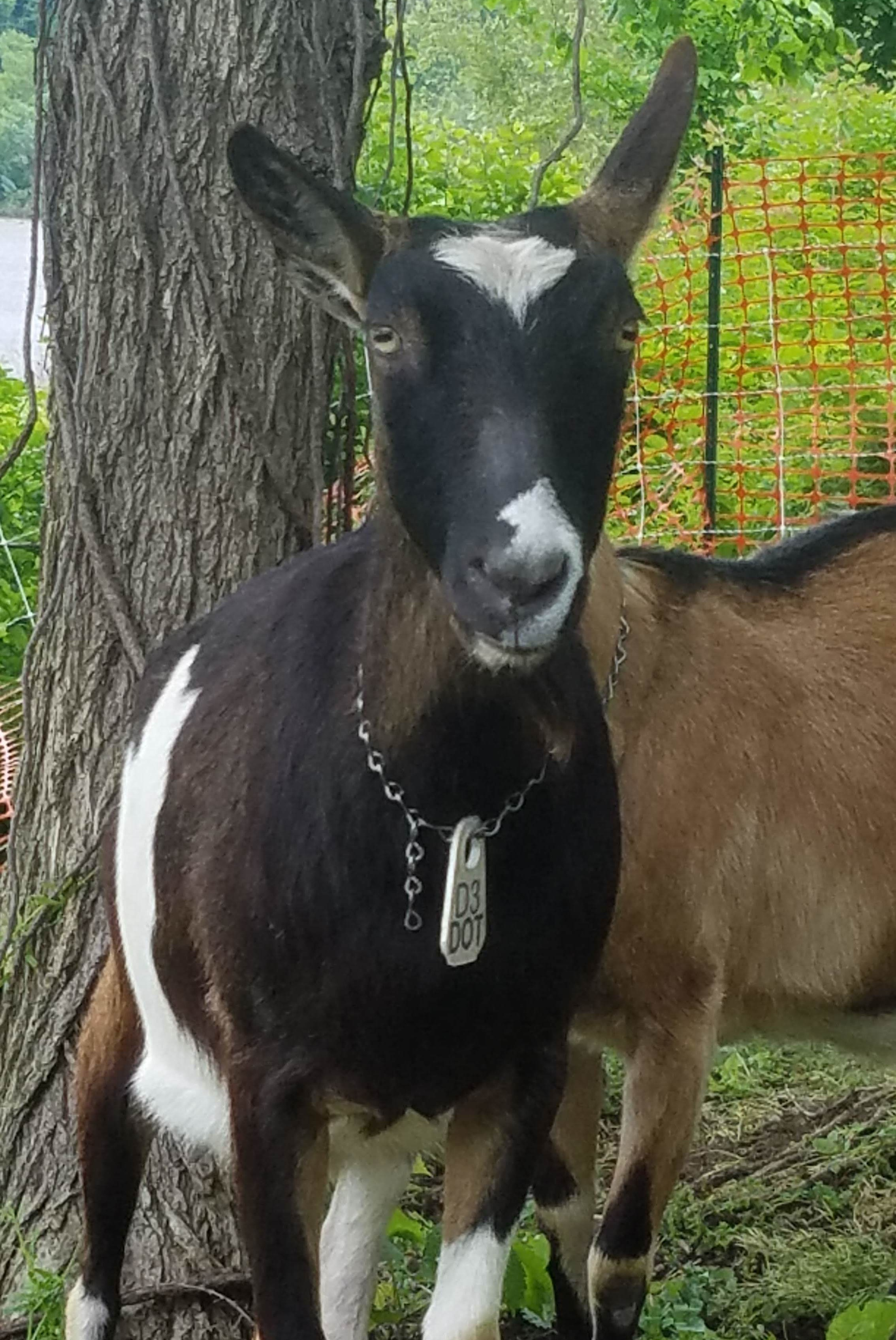 Dot  - Perhaps the most fiesty goat with Allegheny GoatScape, this Alpine is keen on stirring things up just before rest time. She is keen on working hard though, and eats with the best of them.