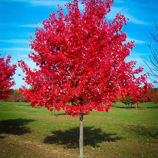 red-sunset-maple-1-547x547.jpg