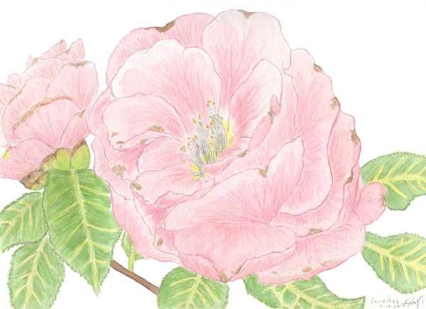 """Watercolor and colored pencil. """"Camellias"""" March 2017. Prints available. copyright © 2017 Jennifer Russ, All Rights Reserved."""