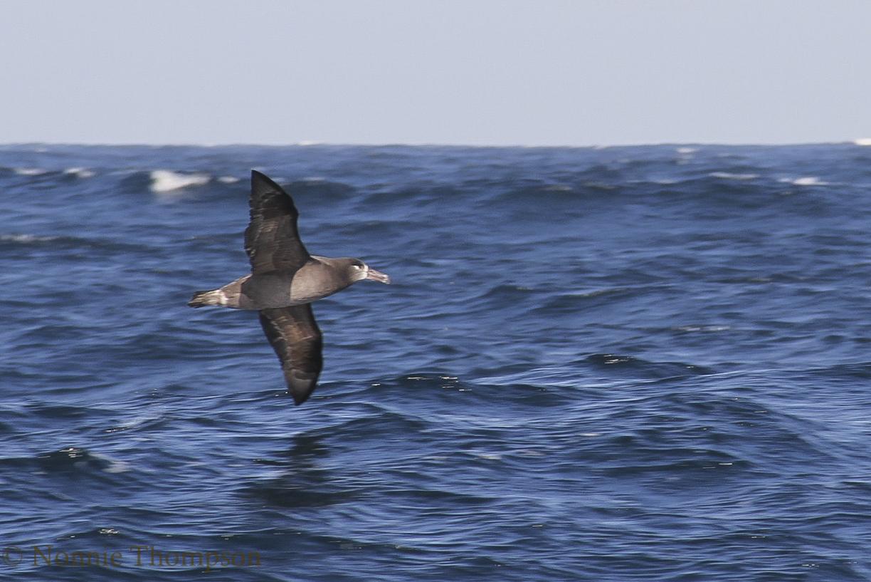 bl-footed_albatross2.jpg