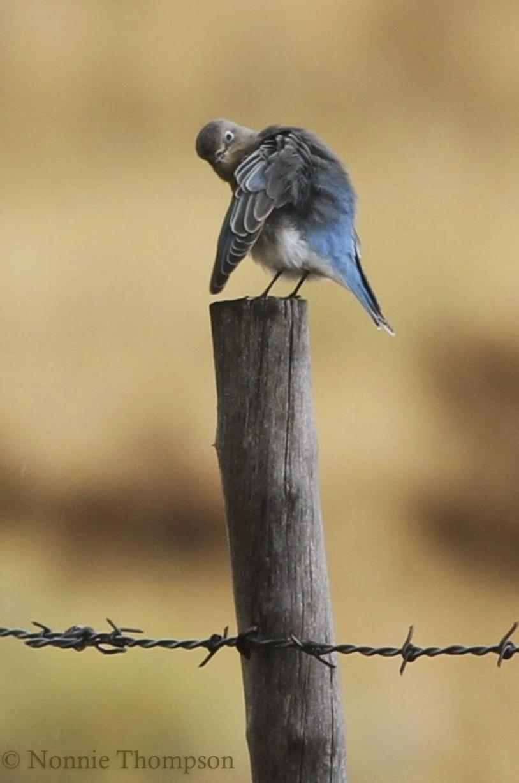 bluebird scratch.jpg