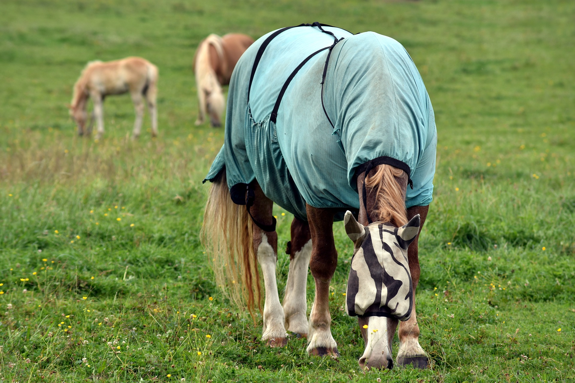 A flysheet can help reduce the risk of sweet itch in horses.