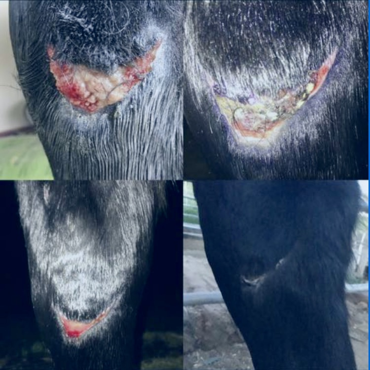 """I can not thank COAT DEFENSE® enough for their immediate response to my desperate seek for help! This could not have happened at a worse time! Rain, nasty mud and fear of a staph in stagnant water and unmucked stalls. I continued to clean and wrap and apply antibiotic ointment until I was overwhelmed with proud flesh, but in fear of exposing to the nasty elements at hand.  COAT DEFENSE® rescued my horse!  I'm so grateful. Within a day or two samples arrived at my home. I applied everyday or every other day to the affected areas and washed the wound with water and betadine as necessary.  The results are excellent  as you can see!!!! THANK YOU!"" — SHANAN MAJORS, CALIFORNIA"