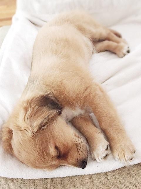 Mini Golden Retriver Mutt Mix Cute Sleeping Puppy