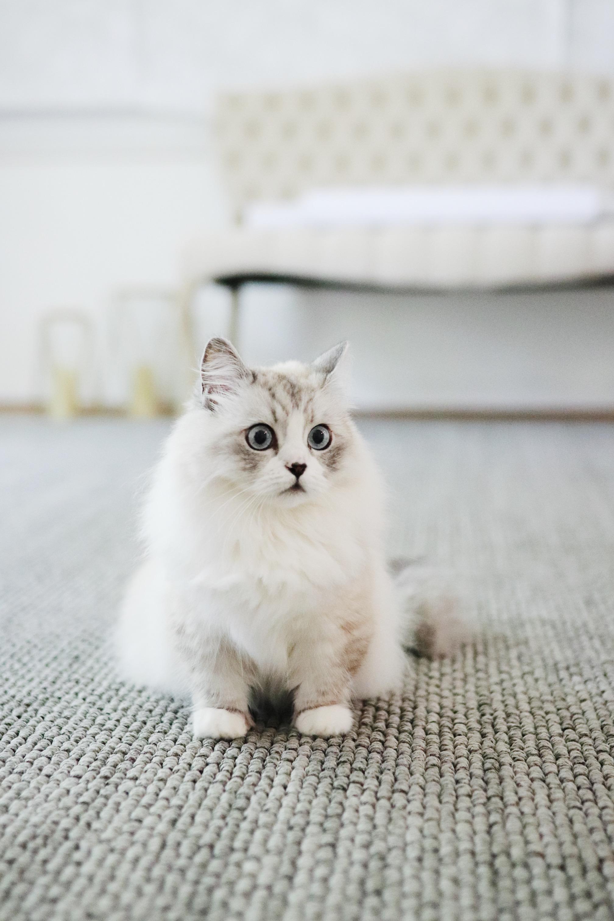 munchkin white persian mix minuet cat