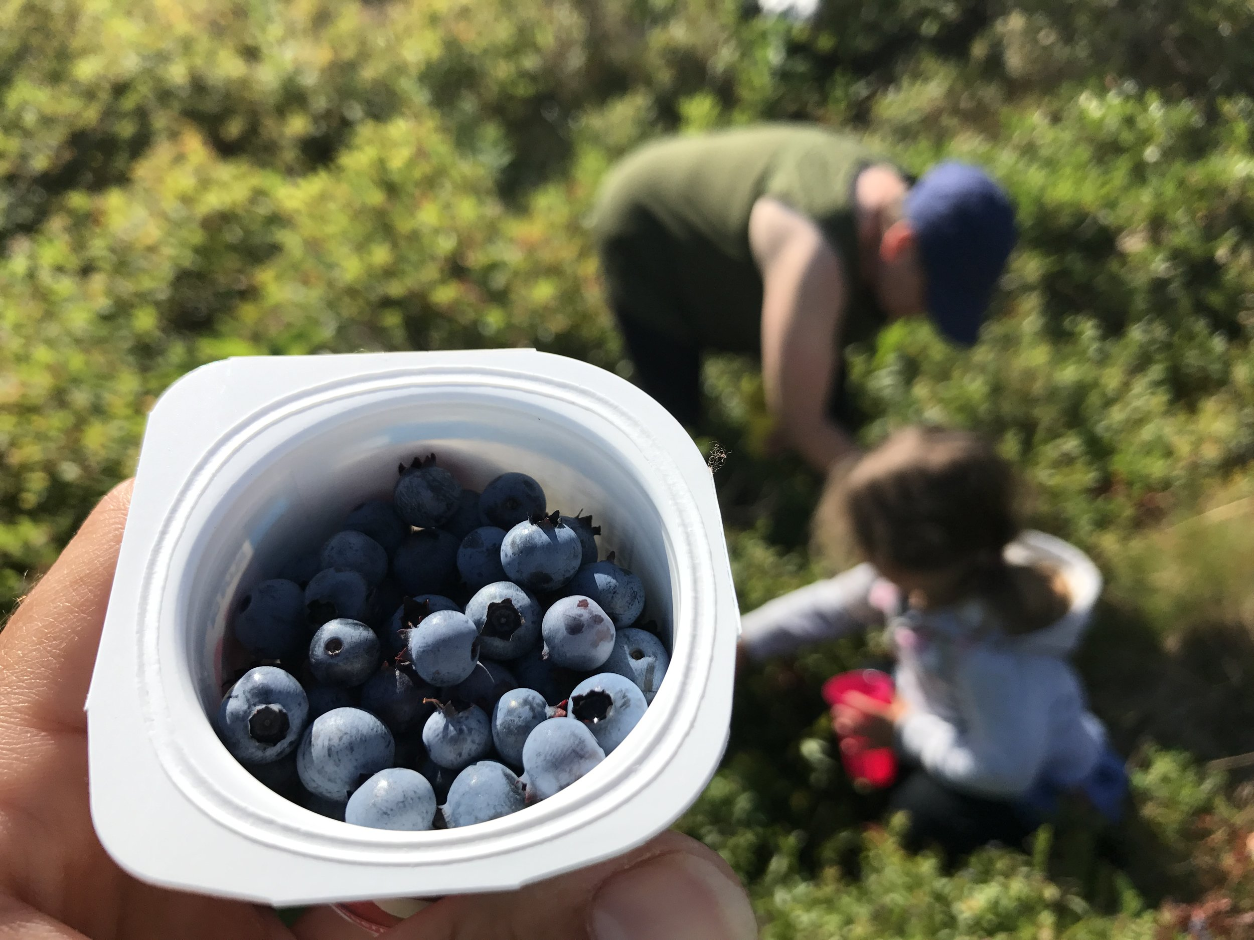We ate a huge amount of wild blueberries, fresh and in crumbles. Blueberry picking in Petit-de-Grat.