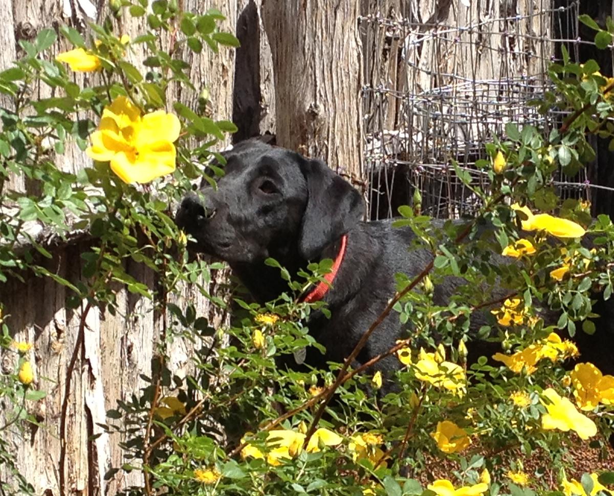 Piper, FEMA search dog in training