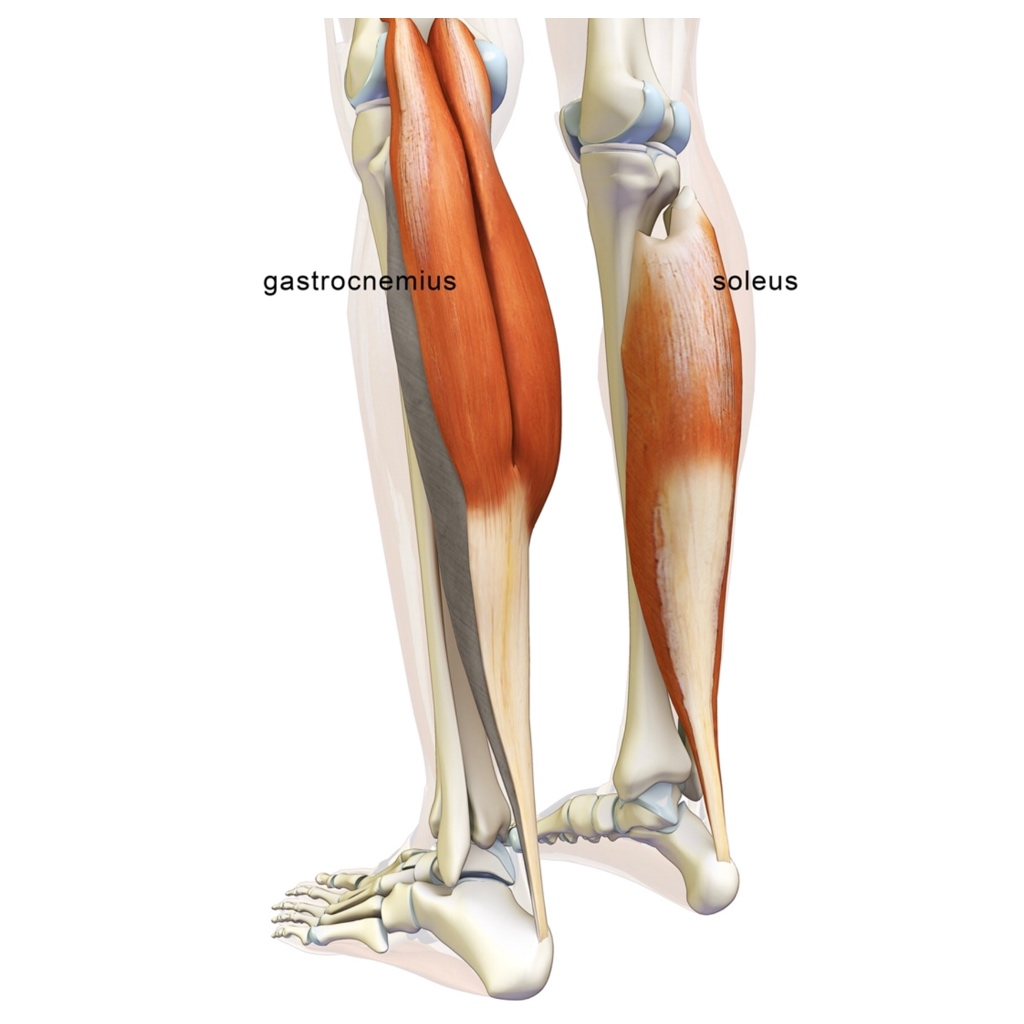 """- The Gatrocnemius and Soleus are the two muscles that make up your """"calf"""" muscle. These two muscles join together to become the Achilles' tendon, the strongest and thickest tendon in your body. """
