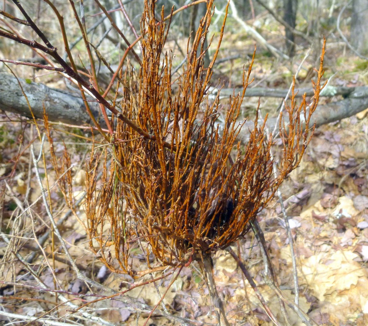sometimes they can be mistaken for birds' nests