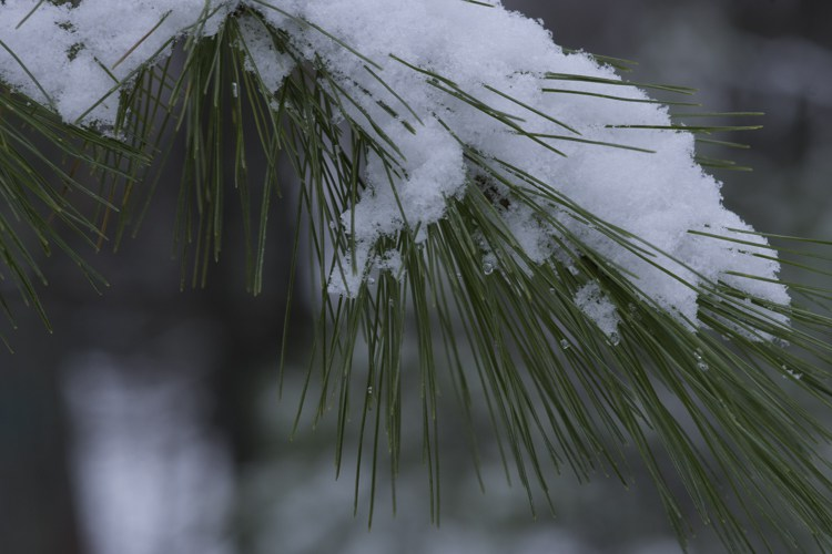 "Eastern white pine needles are typically 3-5"" long and come in bundles of five"