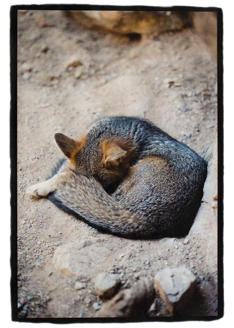 Desert_Fox.jpg