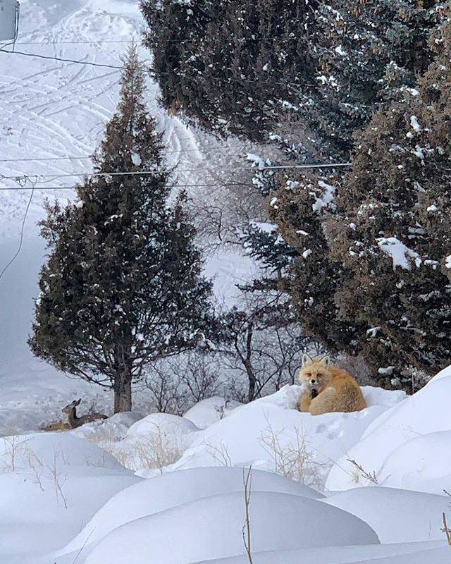 """""""As the snow begins to melt, it reminds me of when I thought the snow was never going to melt."""" Says the wise red fox who lives under cabin #4 #dontmindthedeerintheback"""