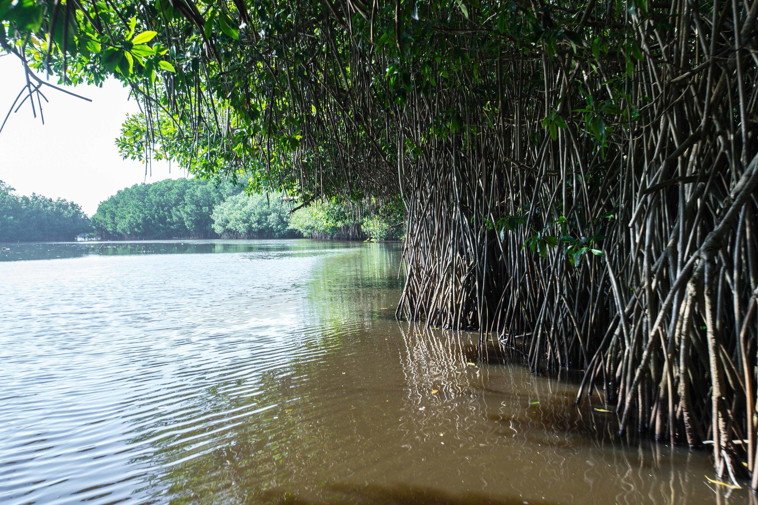 Mangrove restoration by ProNatura