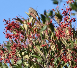 Toyon with berries.jpg