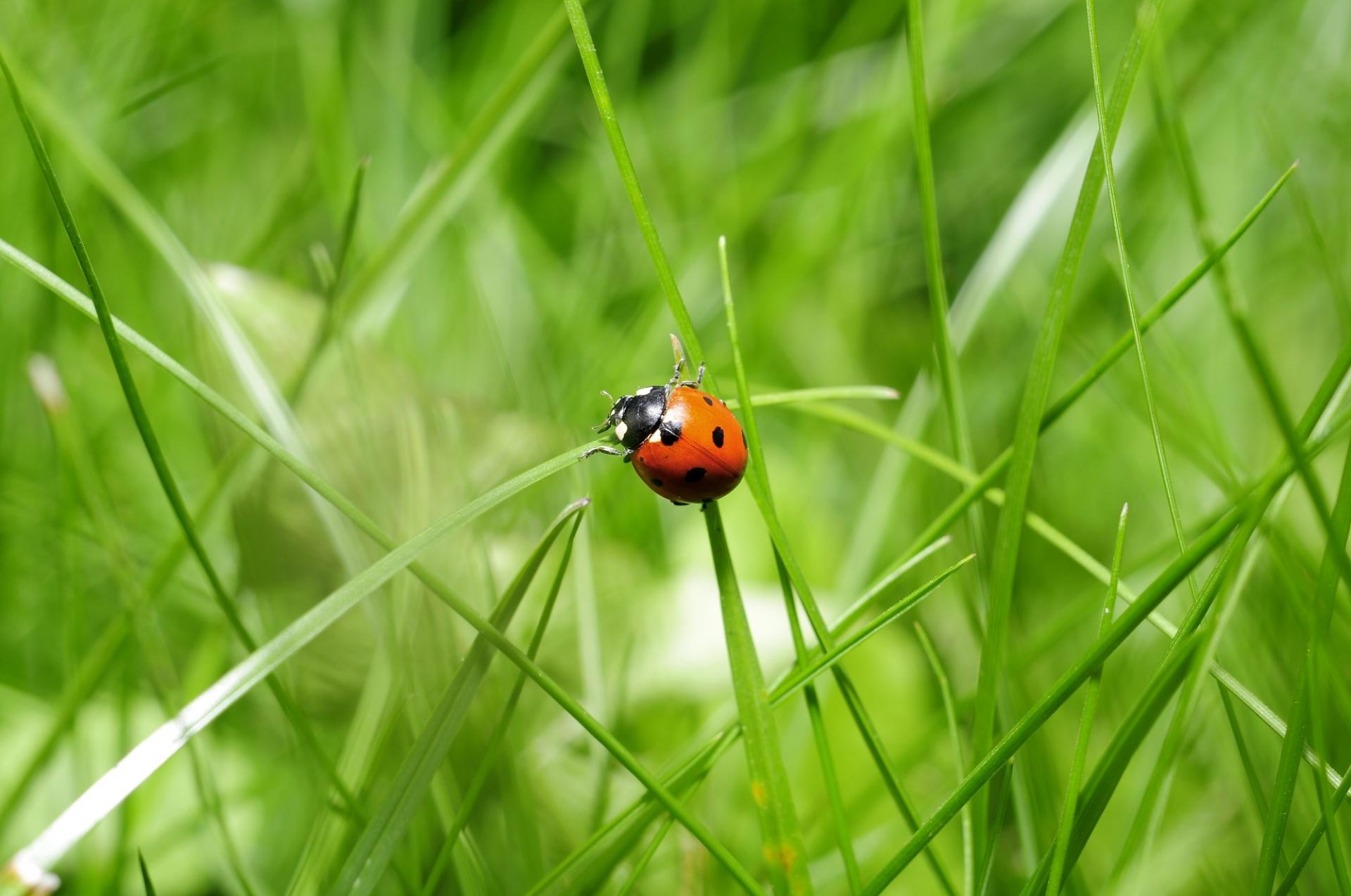 ladybug-in-the-grass.jpg