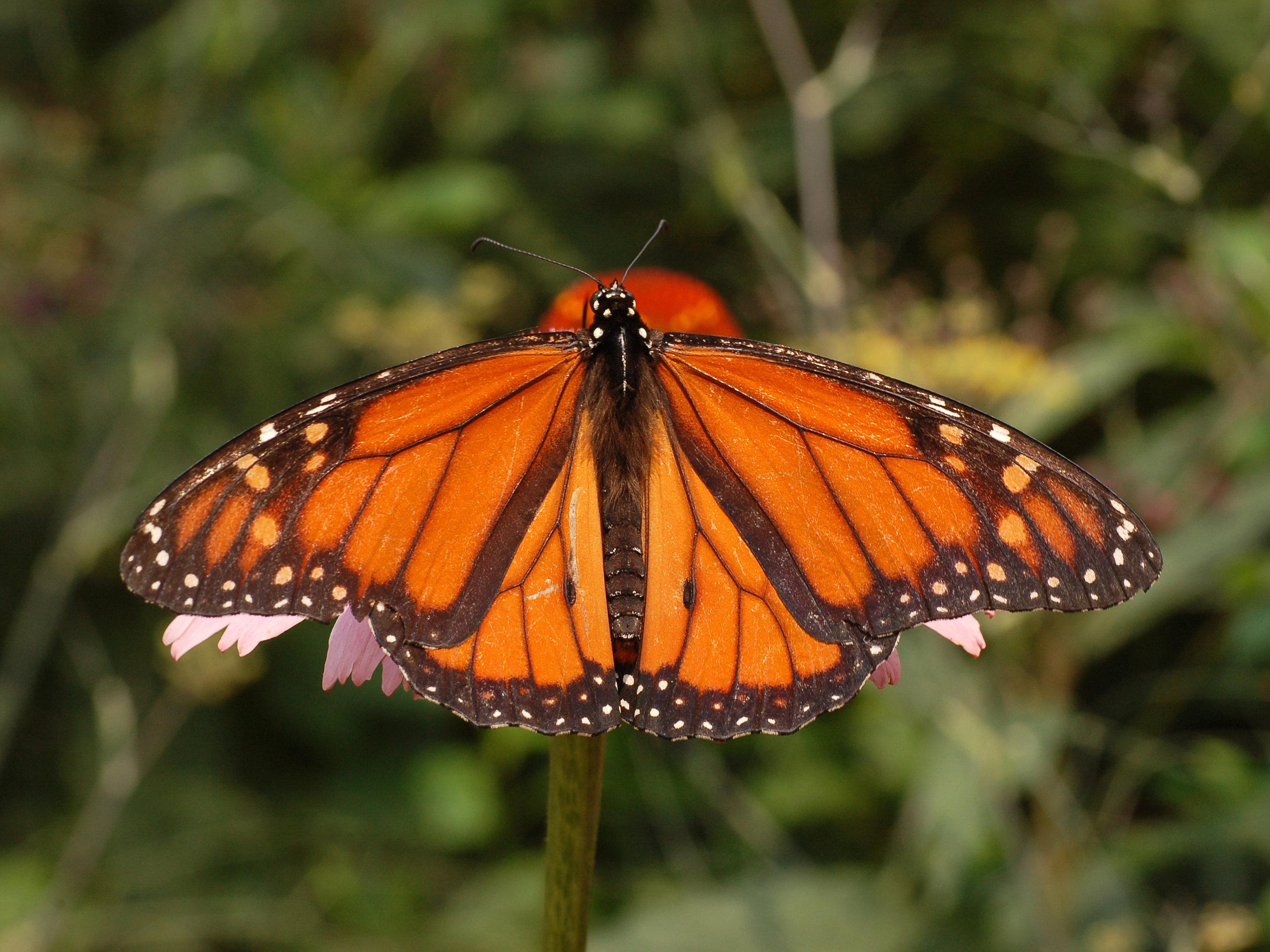 Monarch_Butterfly_Danaus_plexippus_Male_2664px.jpg
