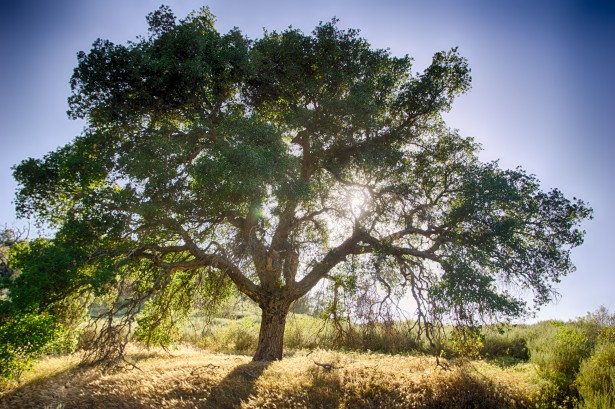 oak-tree-and-sun.jpg