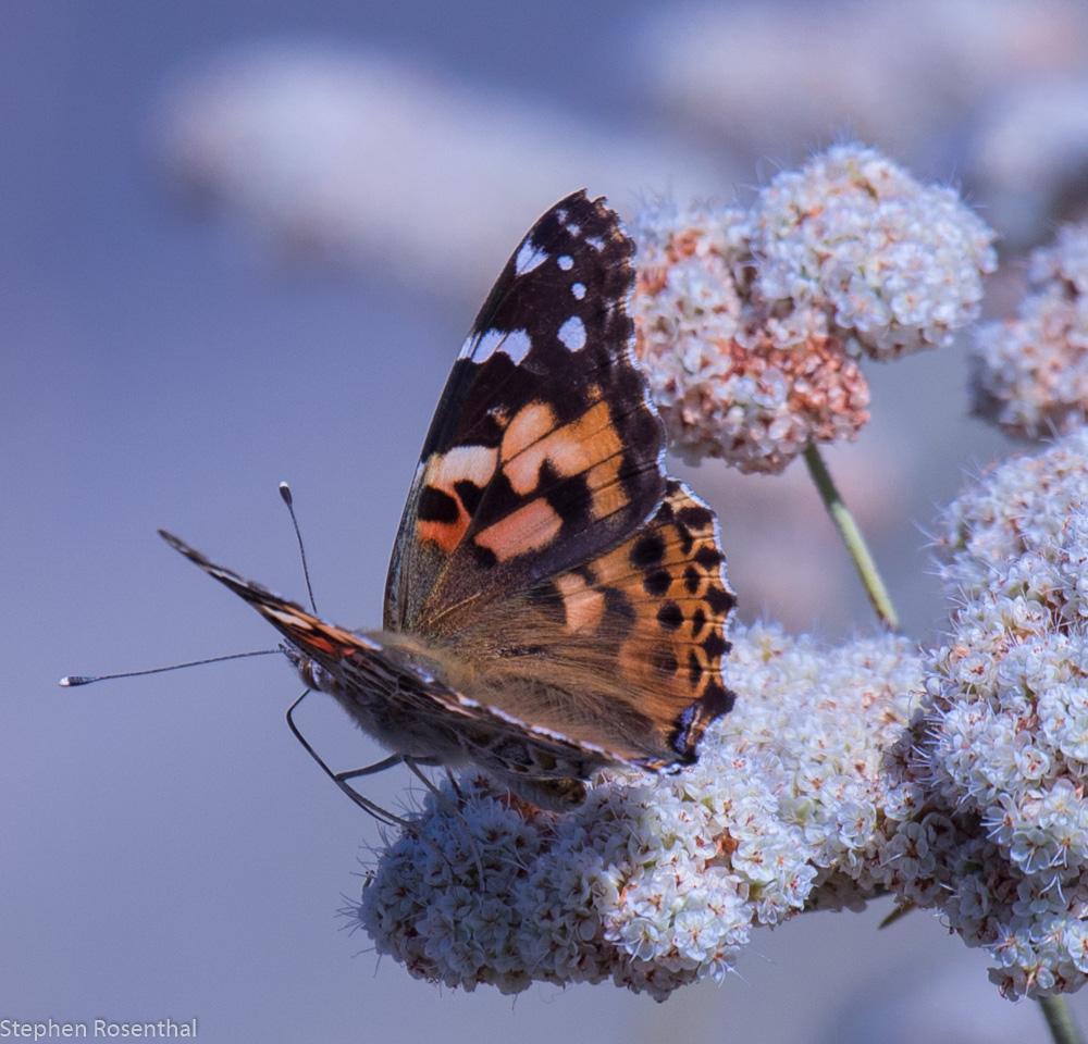 Butterfly enjoying some buckwheat.