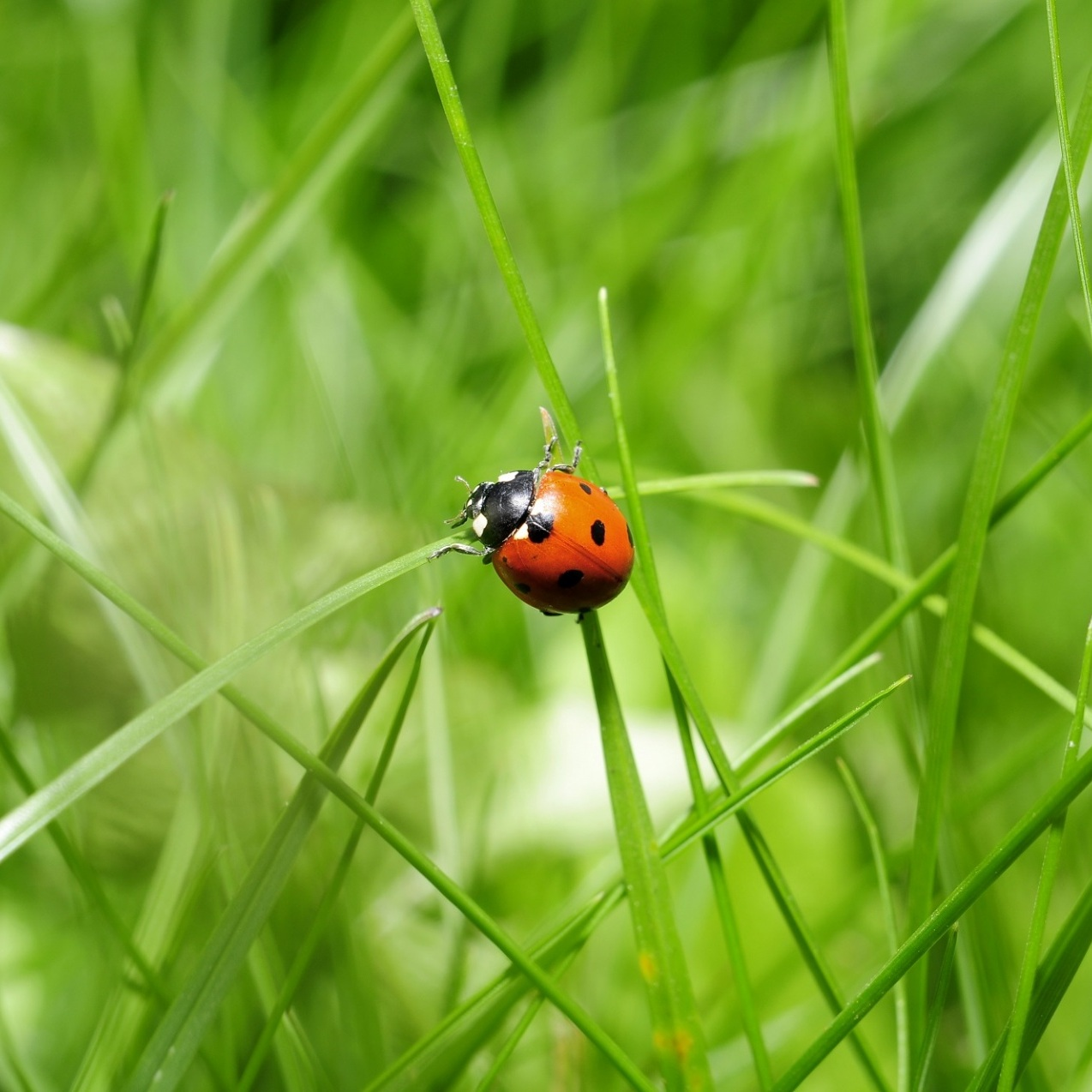 ladybug-in-the-grass.jpg
