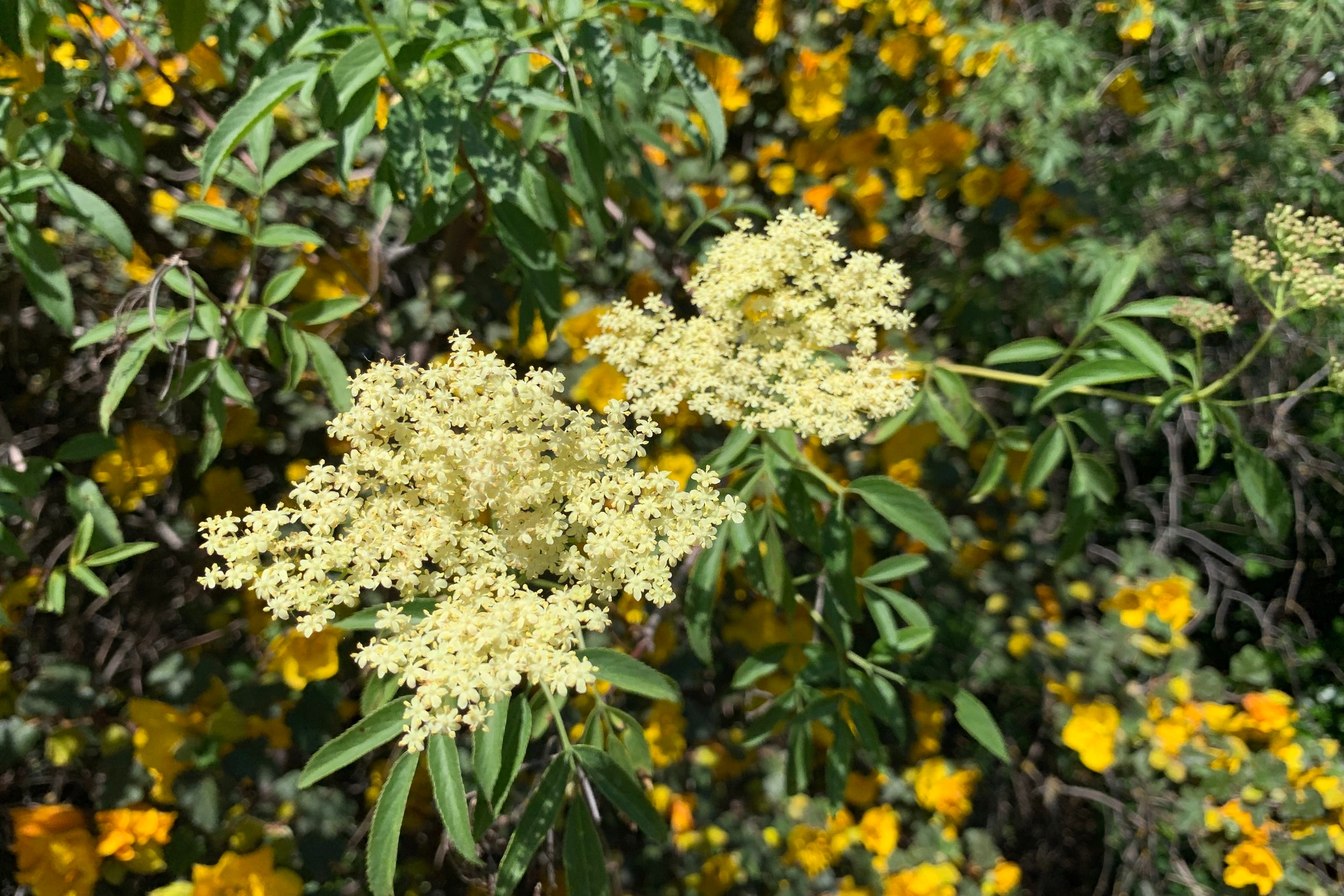 Elderberry+flower+with+Fremontodendron+2+%28AS%29.jpg