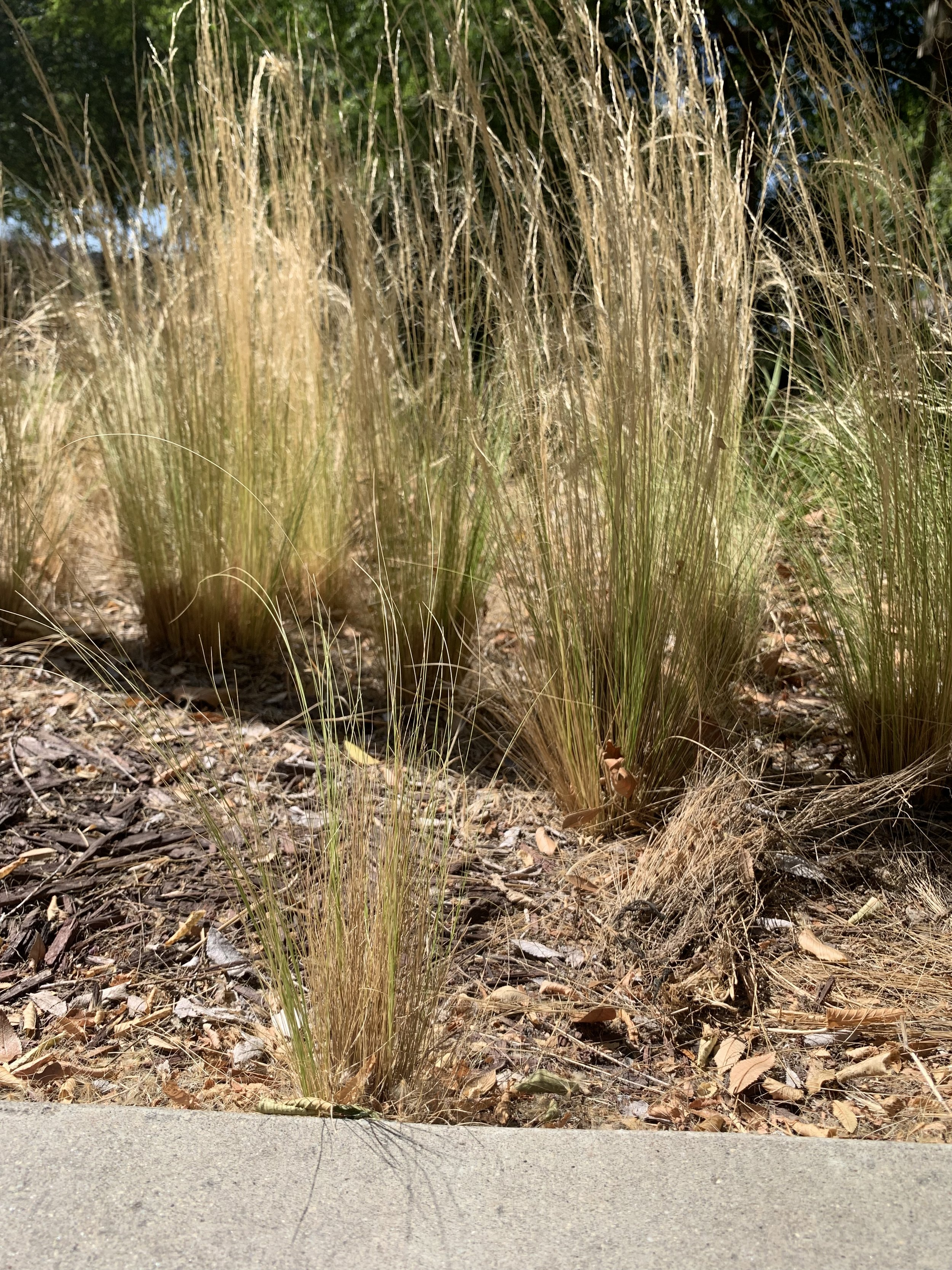 Mexican feathergrass (Stipa/Nassella tenuissima) self-sows easily, often spreading far from its intended spot in the garden.