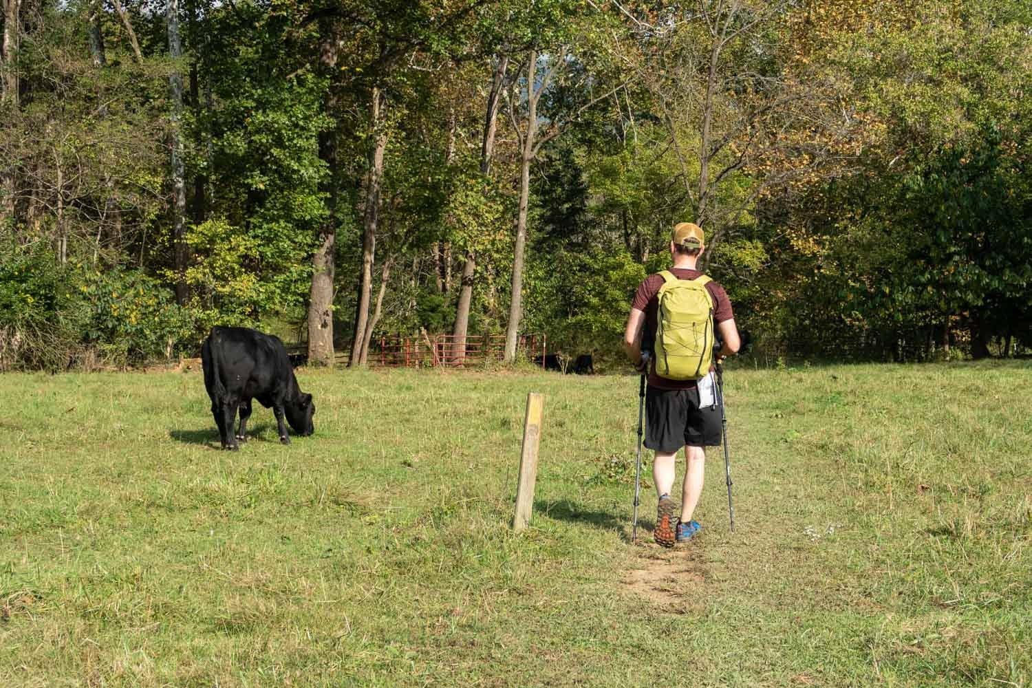 hiker and cow (1 of 1).jpg