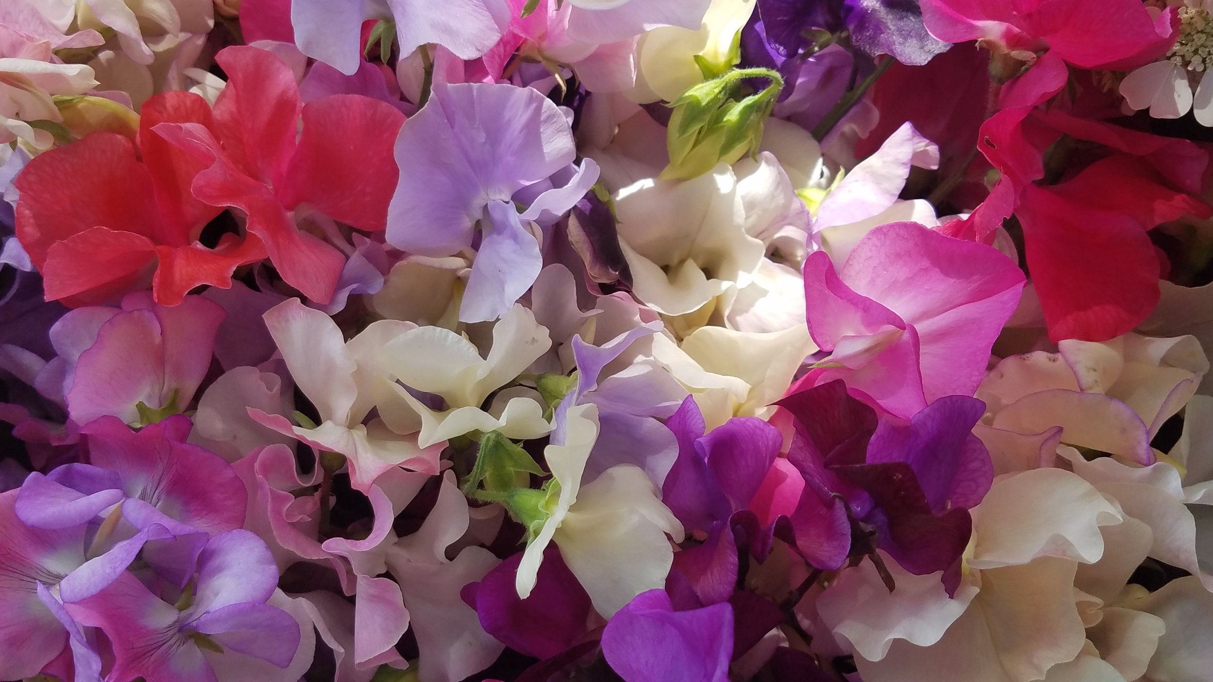 Sweet peas are typically available June through August.