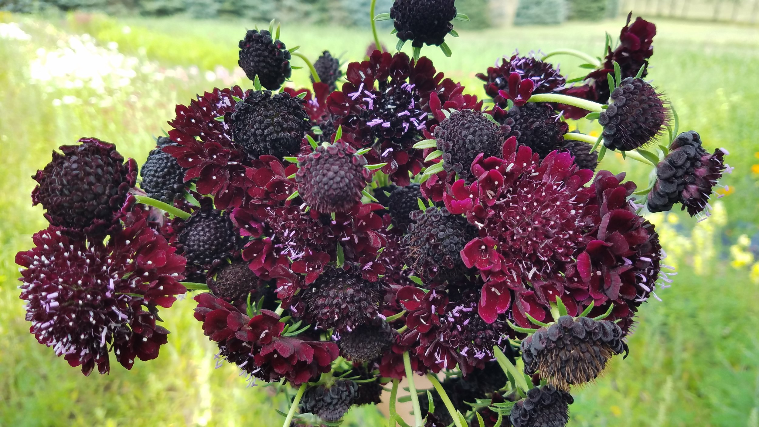We grow five colors of this gorgeous scabiosa along with the starflower scabiosa pods.