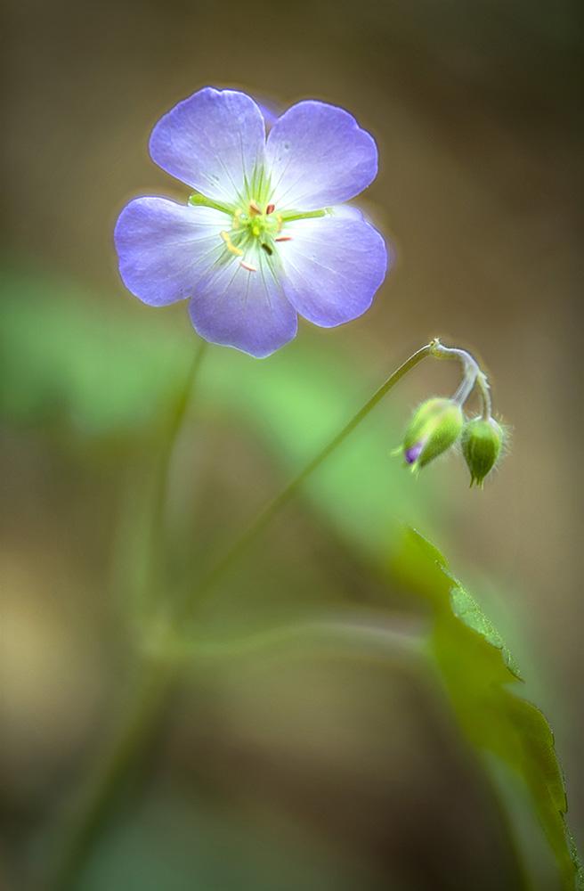 Wildflower Lavendar.jpg