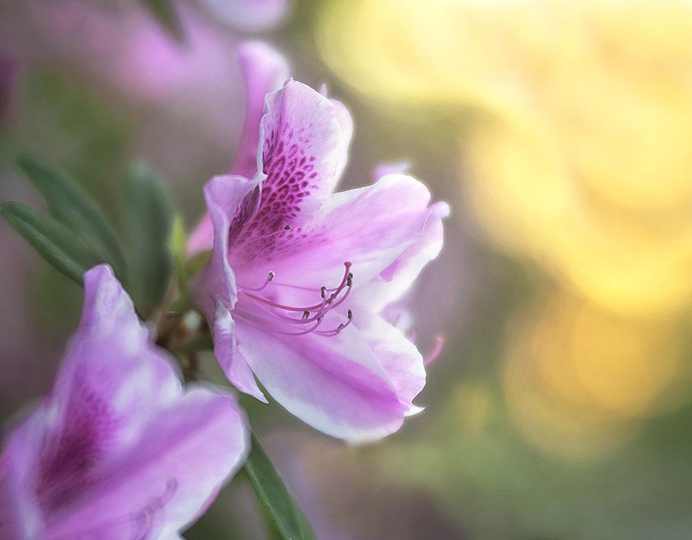 Azalea Pink.jpg