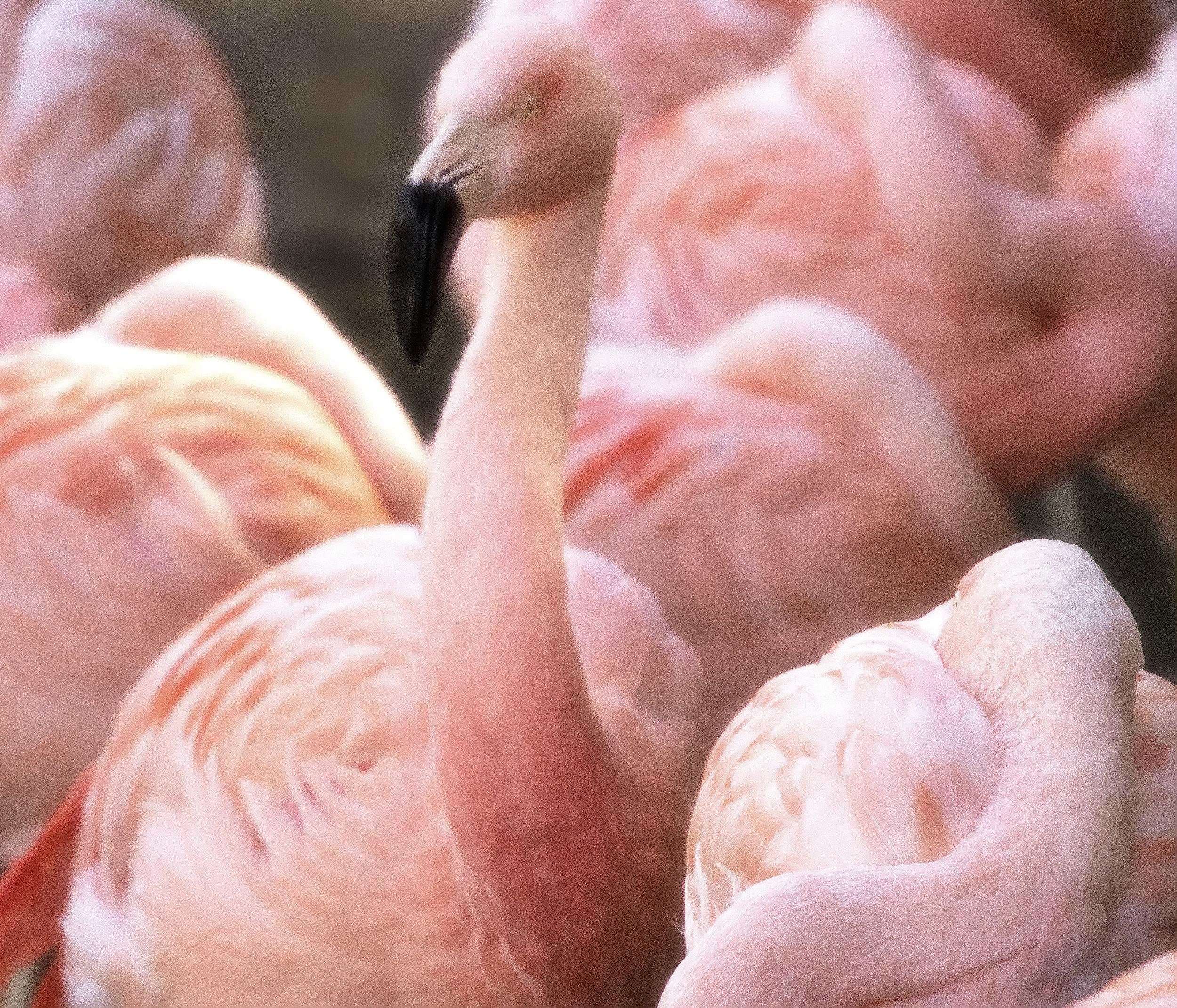 Cotton Candy Flamingo Atlanta Zoo Filtered March 2018