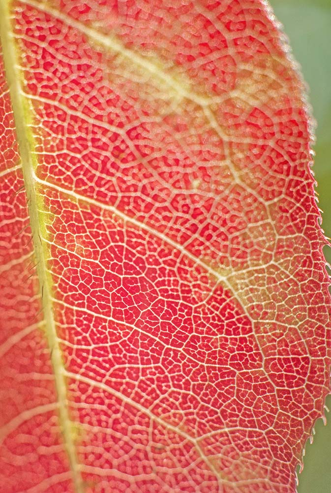 Premonition Leaf Macro Nikon 50mm 1.8