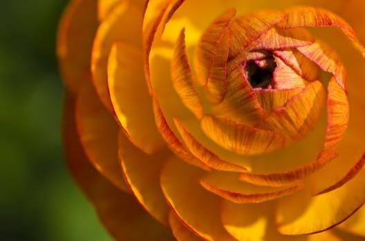 ranunculus-flower-blossom-bloom.jpg