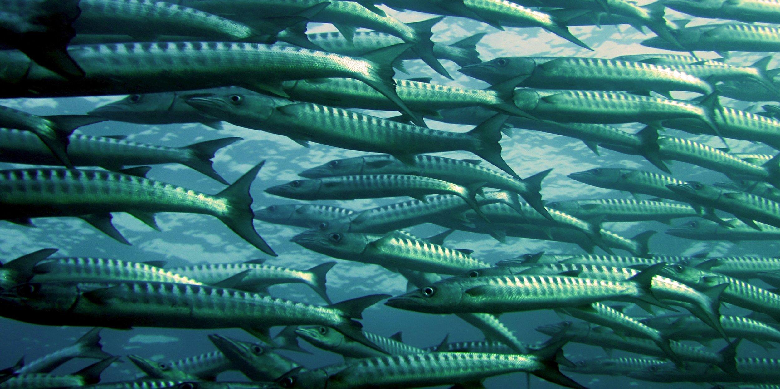 barracuda-fish-ocean-66218.jpg