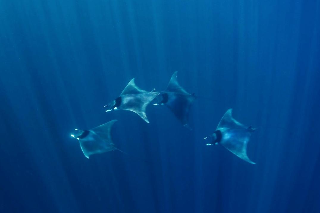 lamave-mobula-ray-philippines.jpg