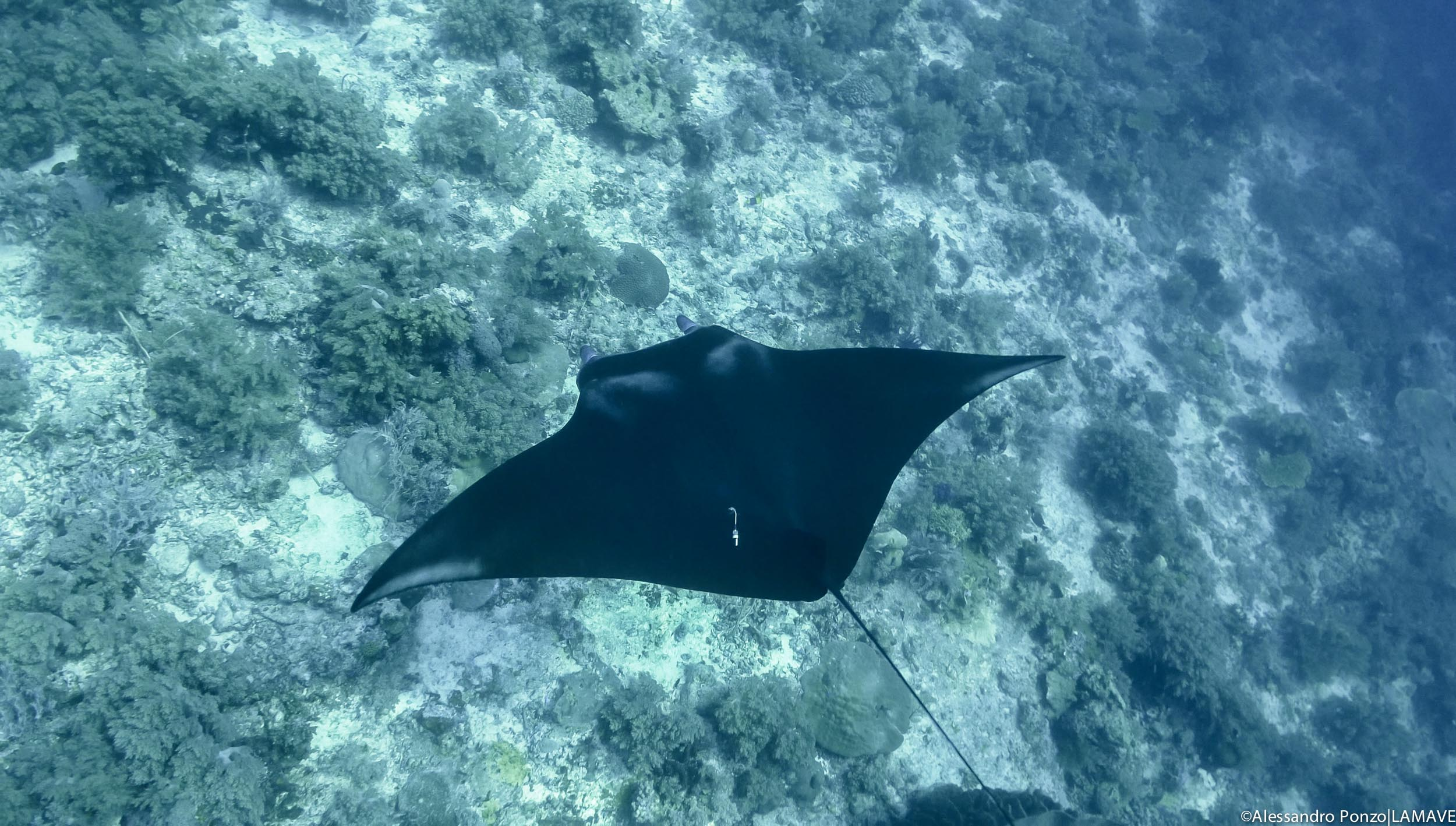 A reef manta fitted with an acoustic tag in Tubbataha Reefs Natural Park.