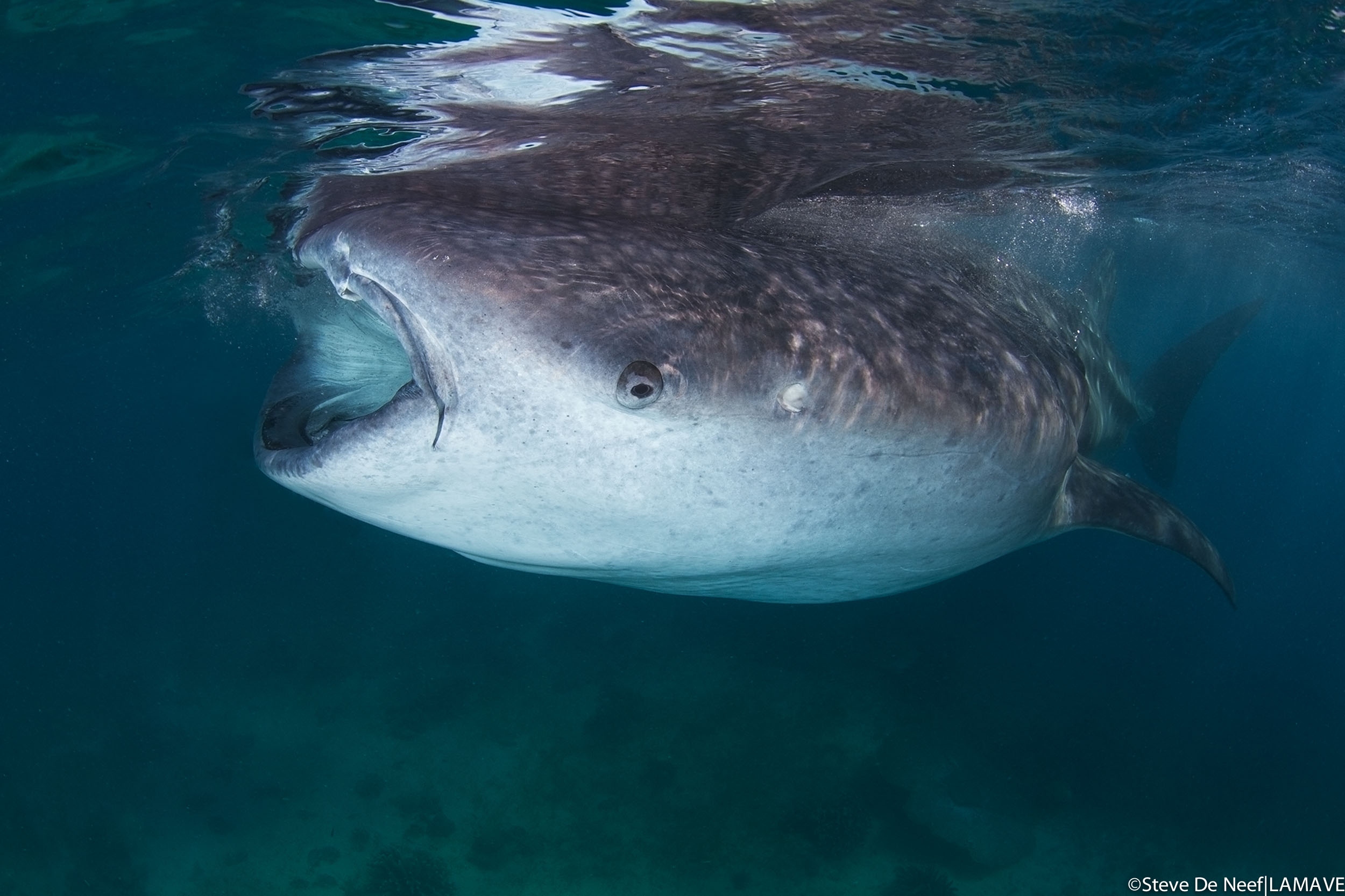 whale-shark-lamave-research-philippines-steve-de-neeef.jpg