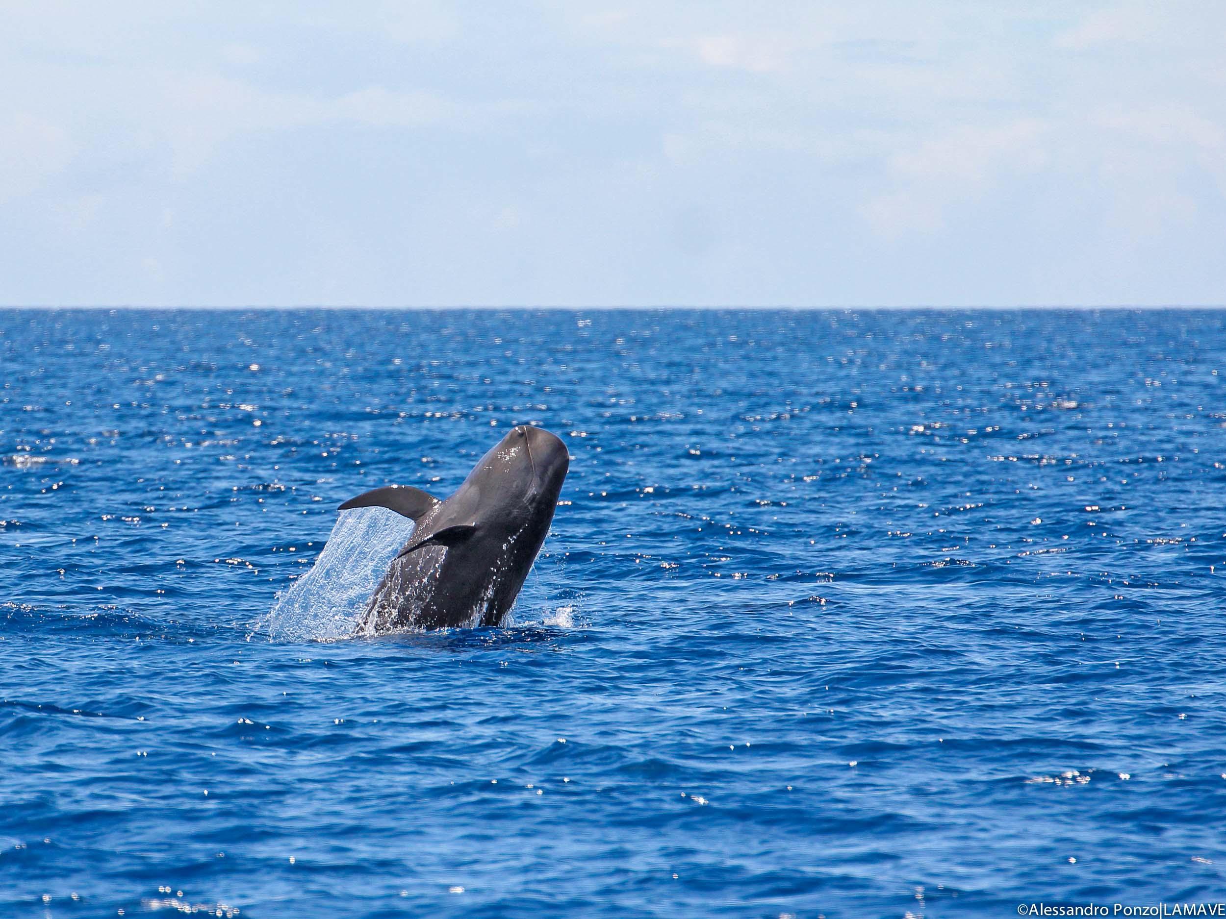 pilot-whale-philippines-lamave