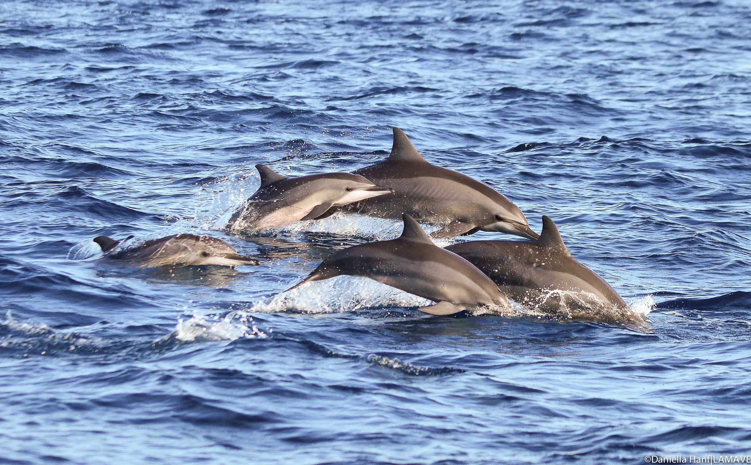 spinner-dolphins-pamilacan-bohol-lamave-research.jpg