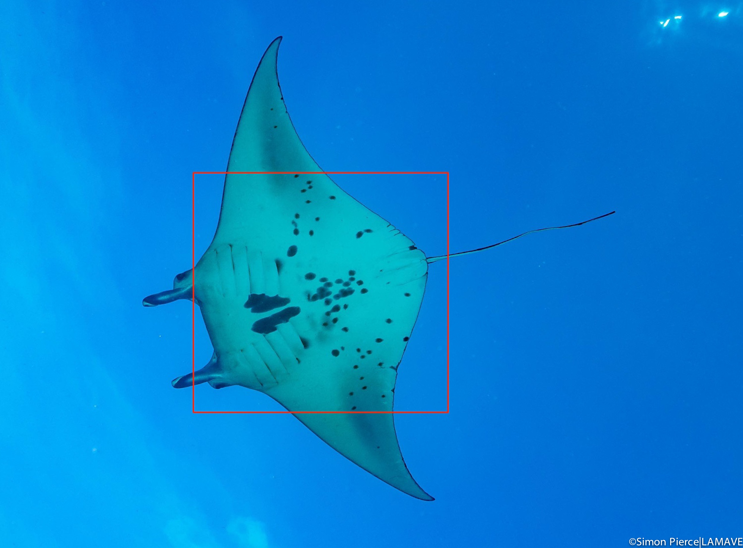 The spot pattern used to identify individual manta rays