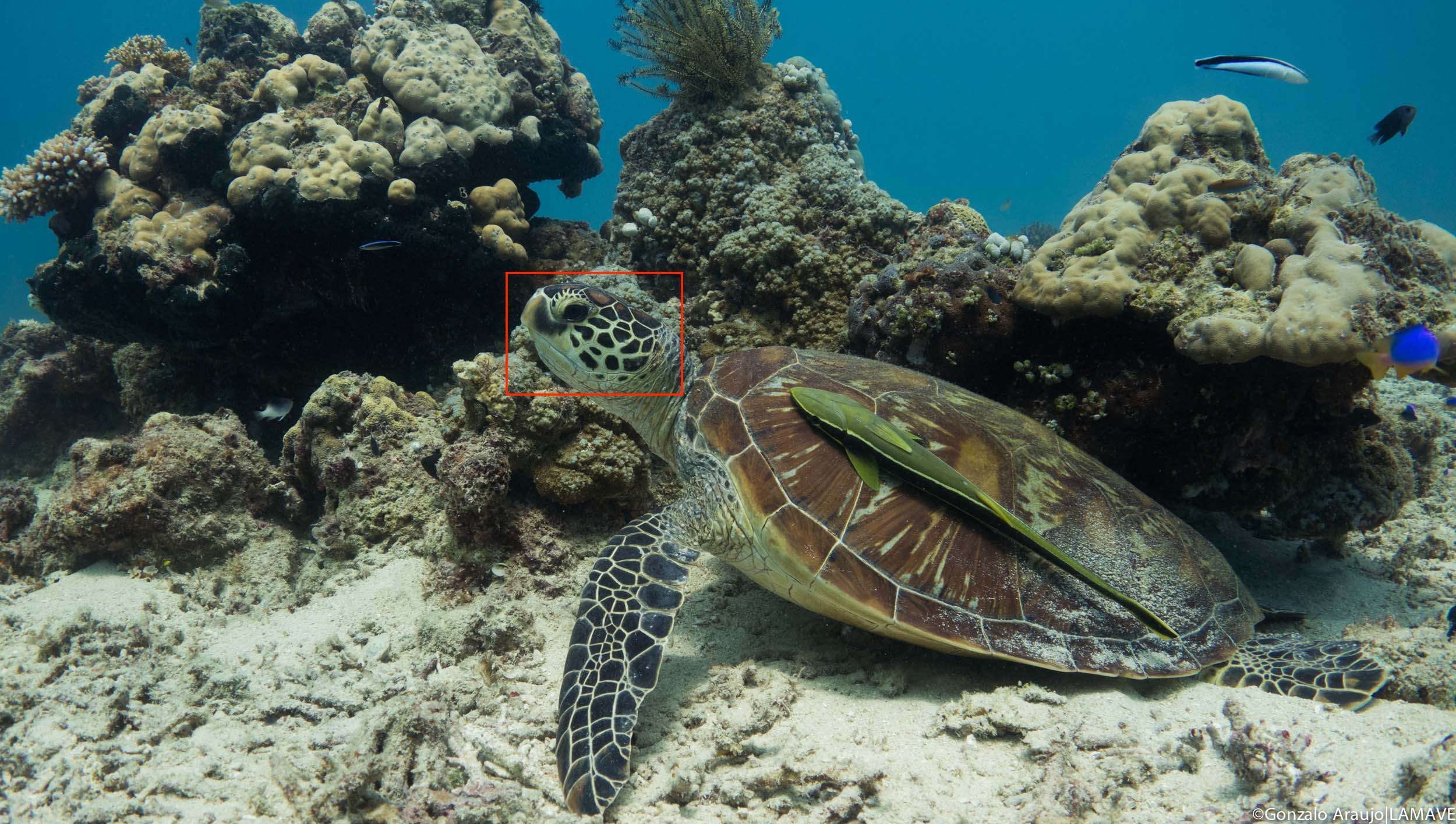 The area used for the photo identification of green turtles