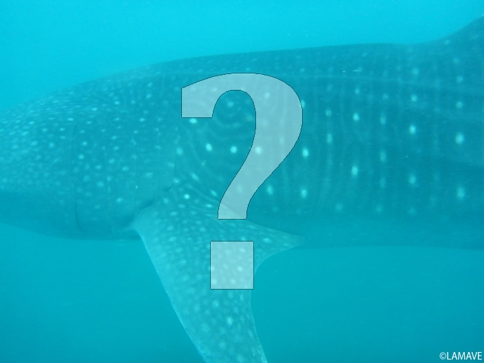 lamave-volunteer-blog-photo-id-whale-shark