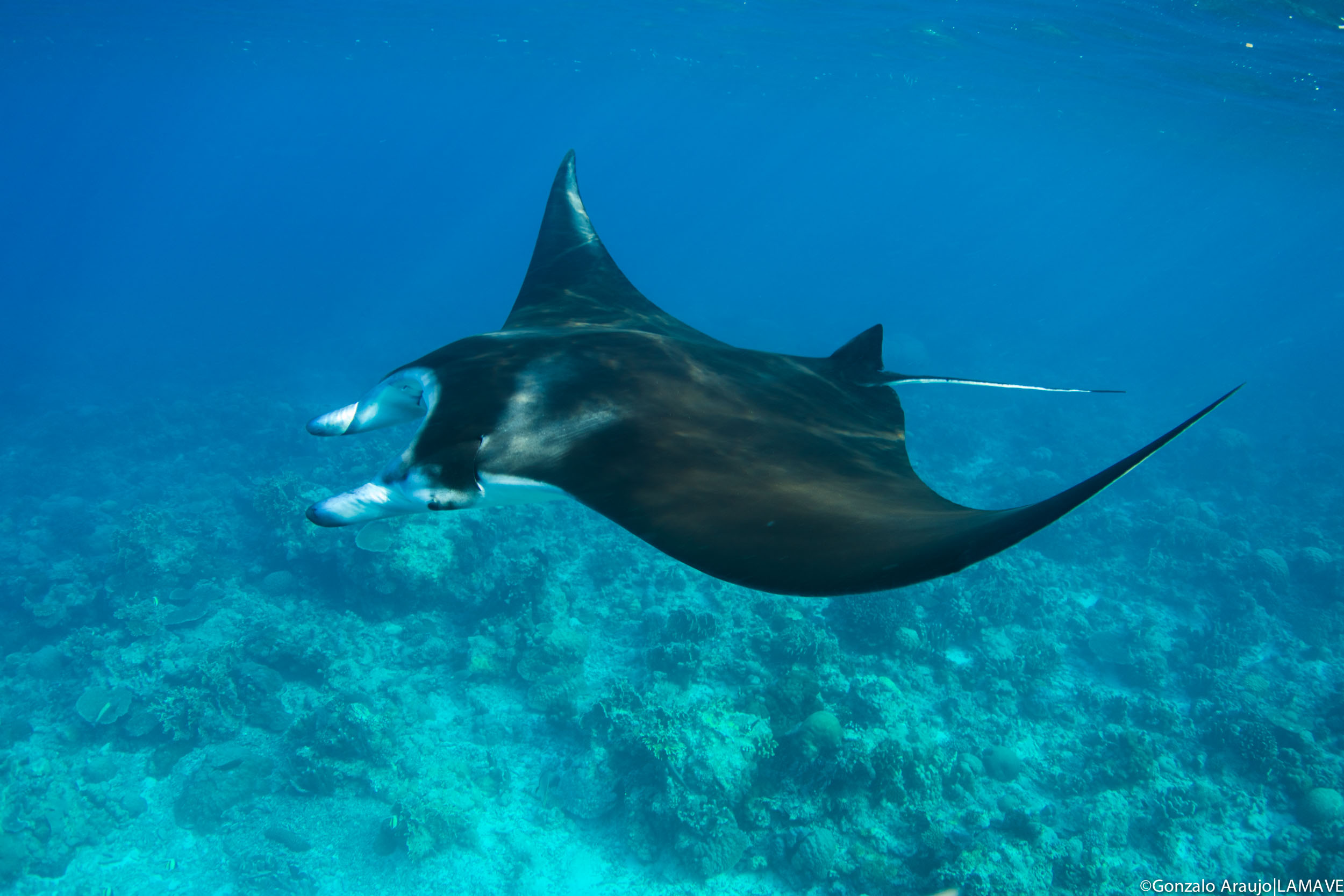 Pictured is a reef manta encountered by our LAMAVE team in Tubbataha Reefs Natural Park