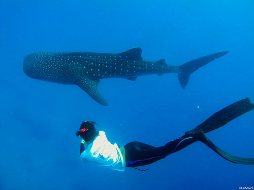 Cherry taking a photo-ID of a whale shark