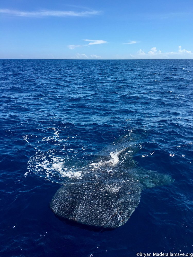 One of the whale sharks encountered by Bryan and the team off the coast of Northern Mindanao.