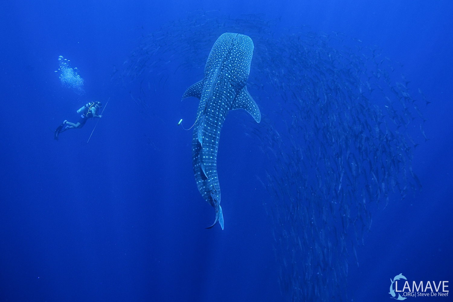 The team tag a whale shark, surrounded by barracuda in Tubbataha Reefs Natural Park (TRNP).