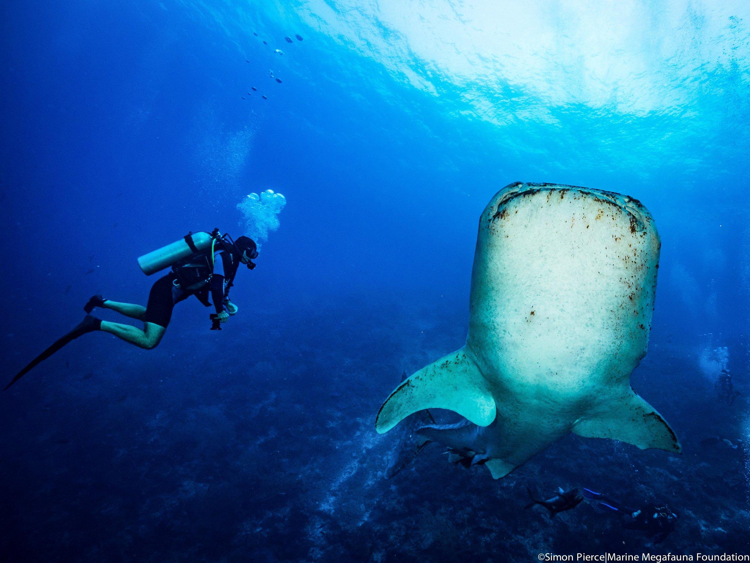 Gonzalo Araujo and the team encounter a whale shark on scuba in Tubbataha Reefs Natural Park.