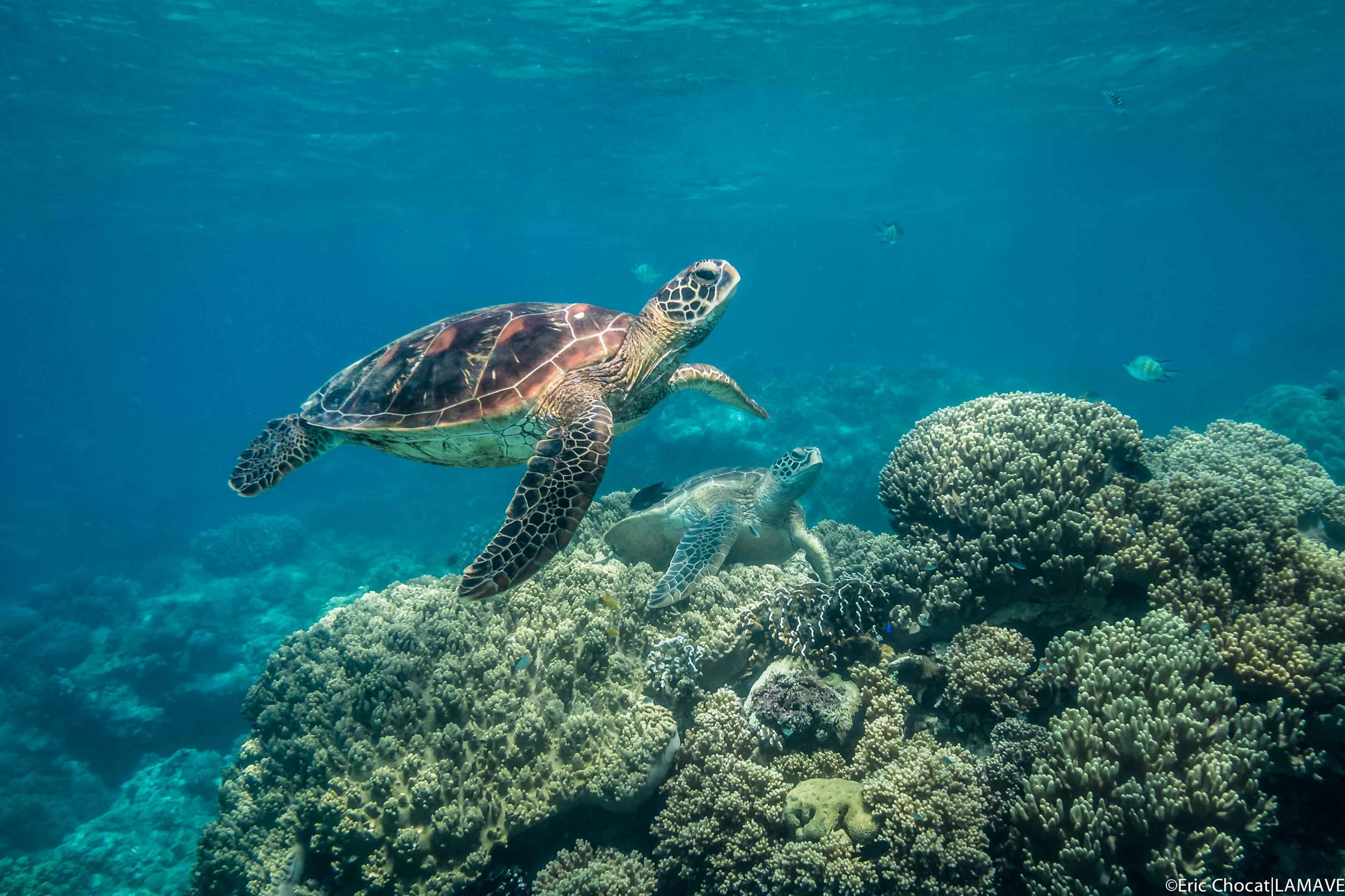Two green turtles swim amongst the coral of Apo Island.