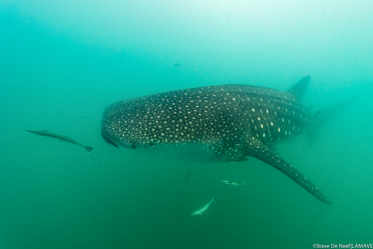 A whale shark encountered in Donsol, Philippines. Credit: Steve De Neef