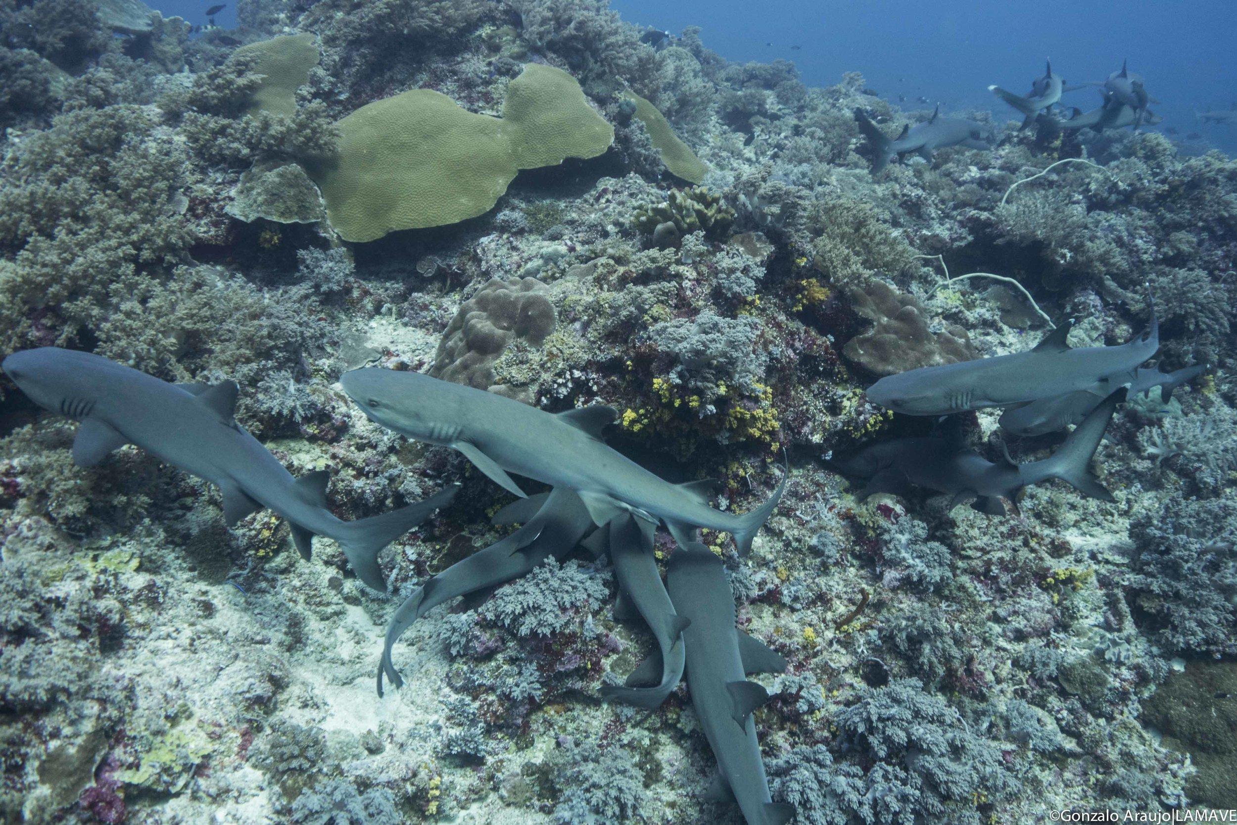Photo 3.Whitetip reef sharks in TRNP. Gonzalo Araujo|LAMAVE